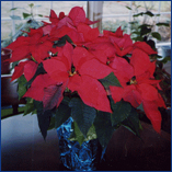 Dicha Poinsettia Photos